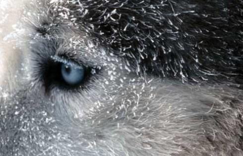 chien huski